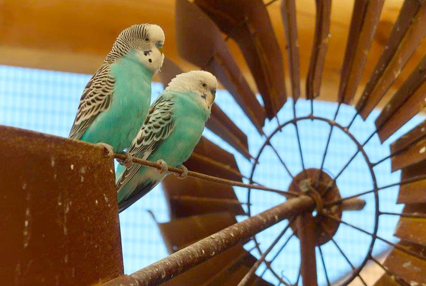 pair of aqua colored birds at lewis farms in new era michigan